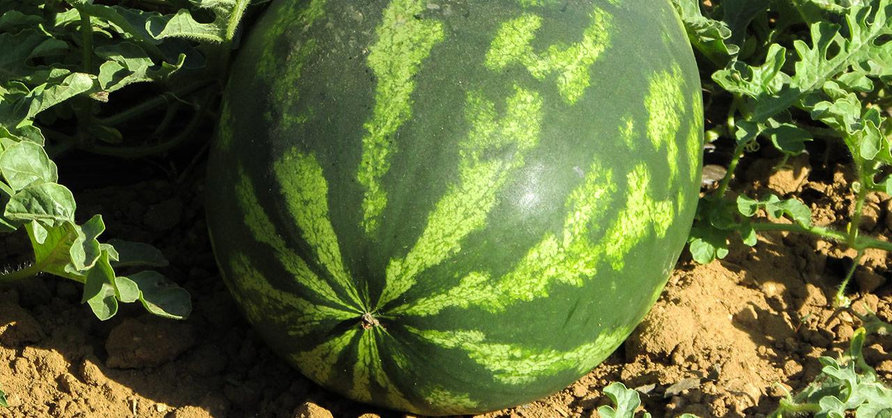 lubenica-slika
