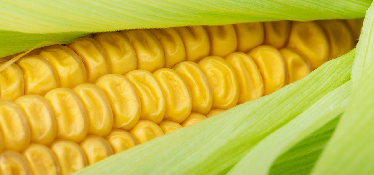 slika-kukuruz-secerac